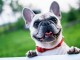 french-bulldog-summer-smile-joy-160846